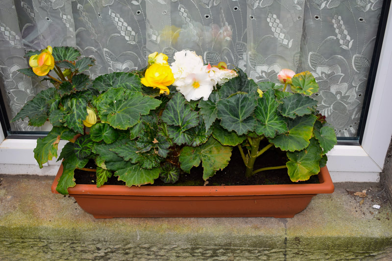 blooming window boxes for sale Edinburgh