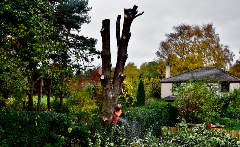 Removal of a sycamore large tree from a garden in Edinburgh