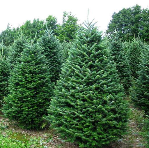 Real Christmas Tree Delivery Online Edinburgh