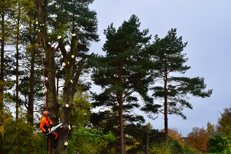 Large sycamore tree removal in Edinburgh by JDS Gardening